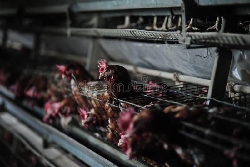 Pollo su un'azienda agricola fotografie stock libere da diritti