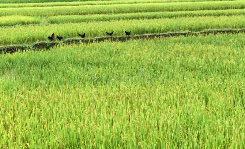 Pollo sul giacimento del riso fotografia stock libera da diritti