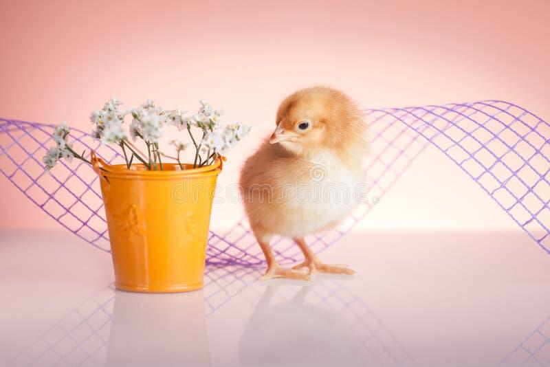 Pollo sveglio del bambino immagine stock