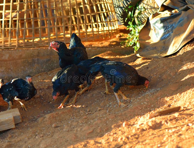 Pollo tailandés en naturaleza foto de archivo