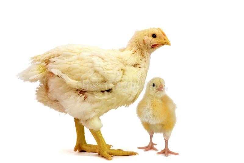 Pollo tomatero dos 2 días y 21 viejos de los días aislados en blanco imagen de archivo libre de regalías