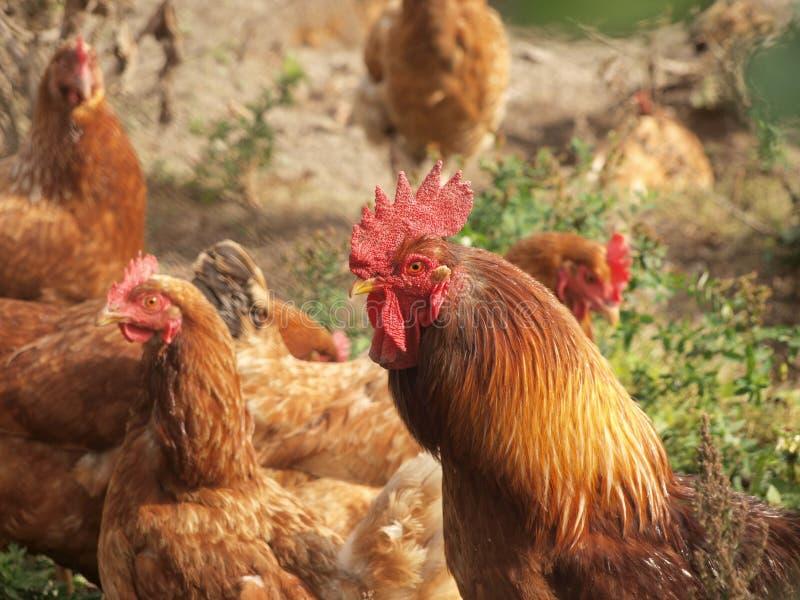 Pollo y gallina imagen de archivo libre de regalías