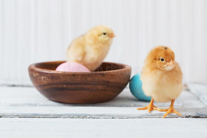 Pollo y huevo de Pascua en el fondo de madera blanco imágenes de archivo libres de regalías