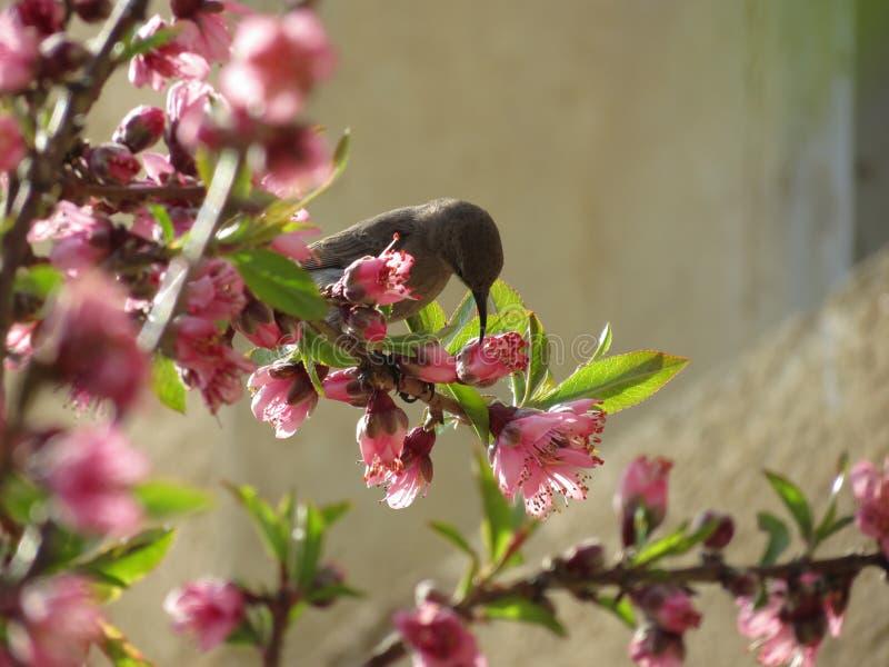 """Pollone del miele del †del fuoco """" fotografia stock"""