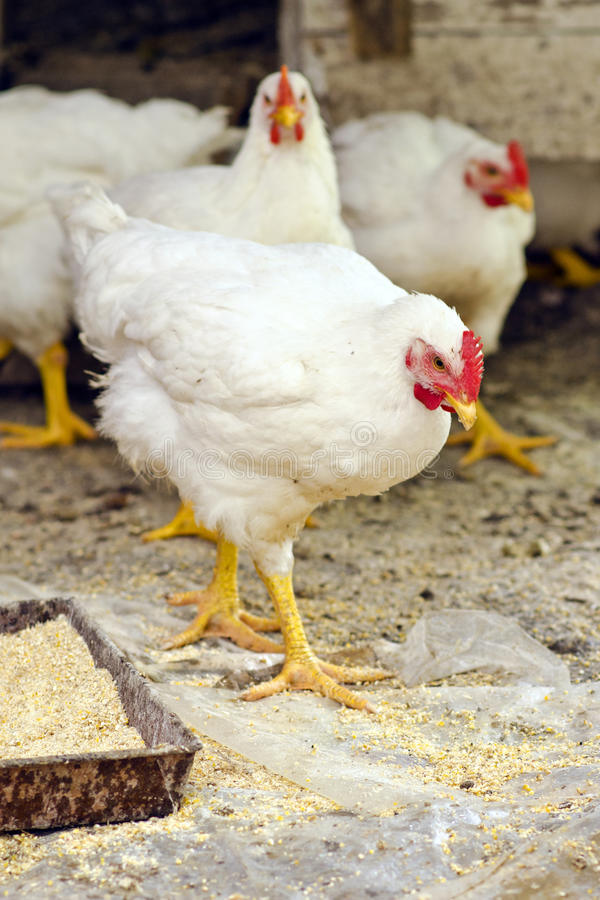 Pollos foto de archivo libre de regalías