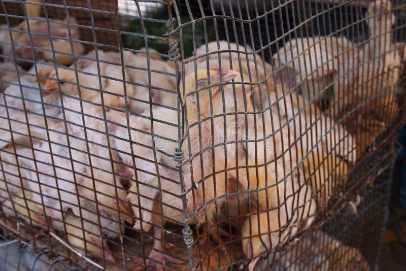 Pollos abusados foto de archivo