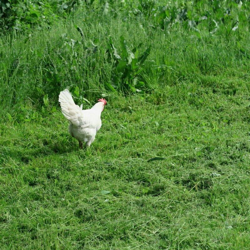 Pollos brillantes disipados con el gallo que come en hierba verde llena fotos de archivo libres de regalías