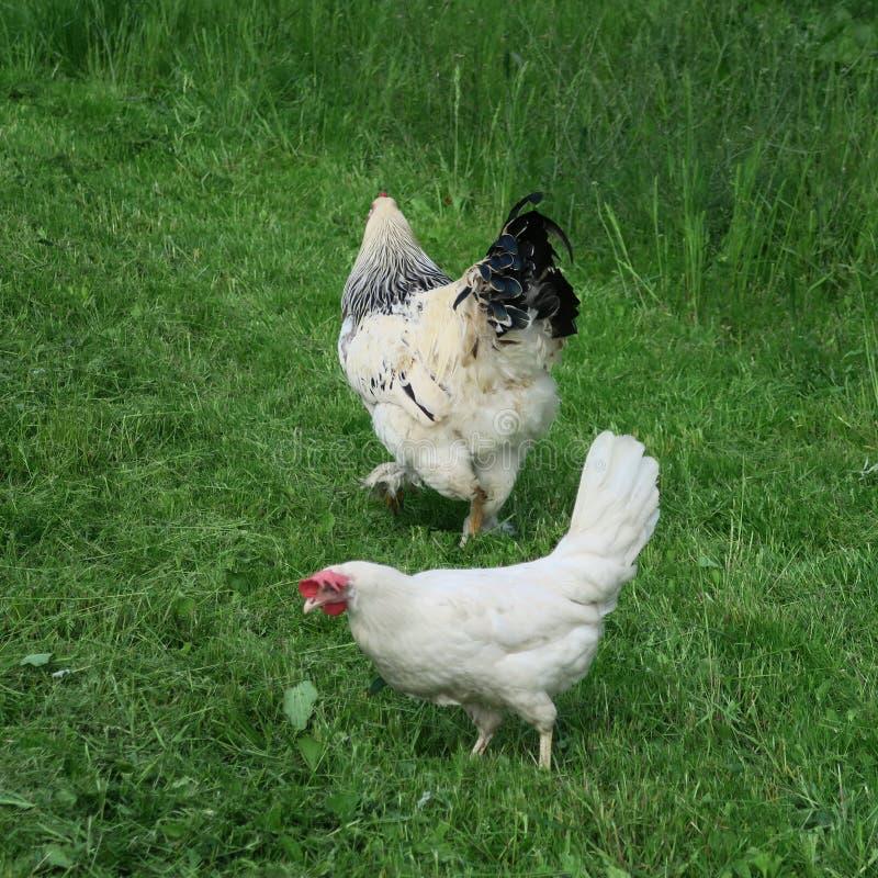 Pollos brillantes disipados con el gallo que come en hierba verde llena imágenes de archivo libres de regalías