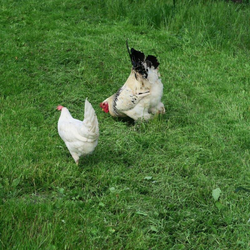 Pollos brillantes disipados con el gallo que come en hierba verde llena fotos de archivo