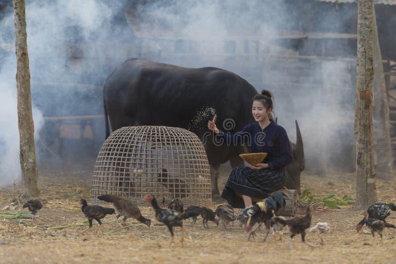Pollos de alimentación asiáticos de la mujer joven en el campo de Tailandia, Tailandia imagen de archivo