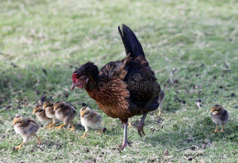 Pollos de Iniki del huracán foto de archivo