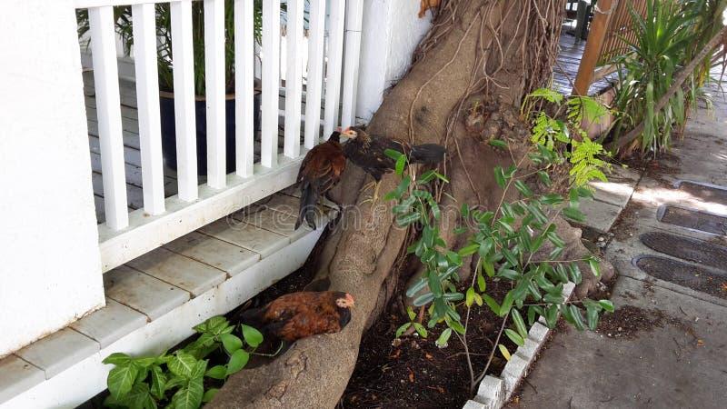 Pollos de Key West foto de archivo