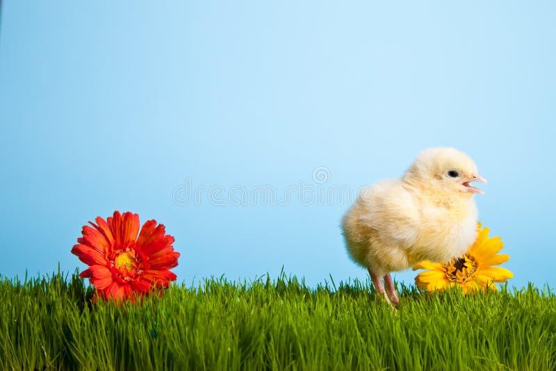 Pollos de Pascua con las flores en hierba verde imagen de archivo