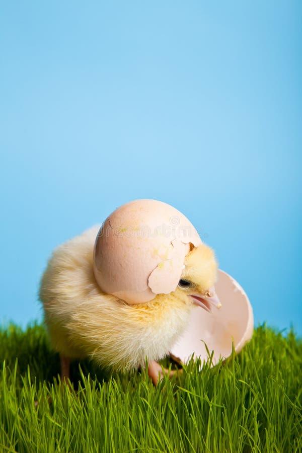 Pollos de Pascua con las flores en hierba verde imágenes de archivo libres de regalías