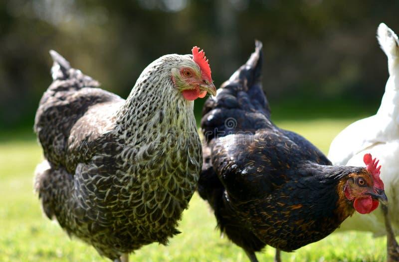 Pollos del animal doméstico imagen de archivo