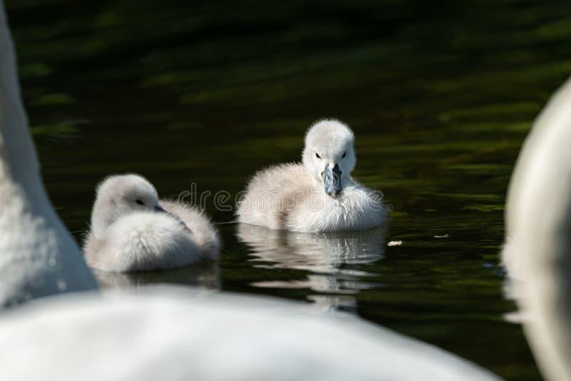 Pollos del cisne del cisne mudo que nadan en un día soleado en primavera foto de archivo libre de regalías