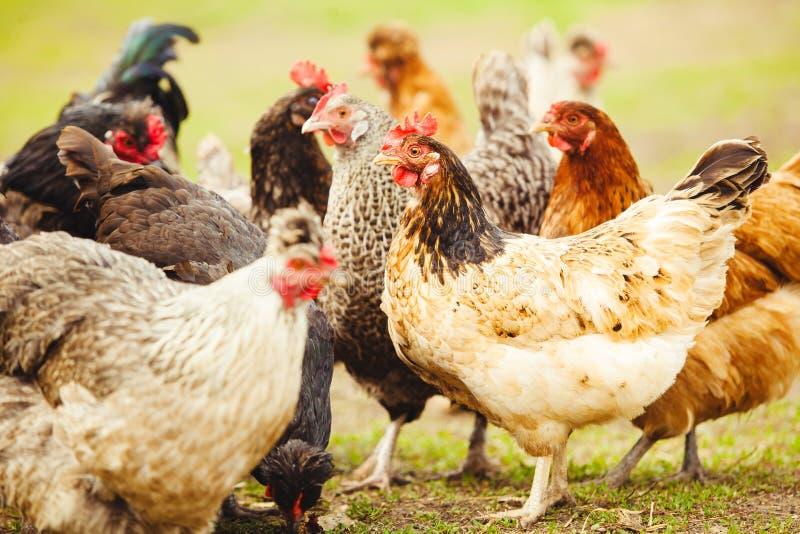 Pollos en el jardín Primer tirado de ponedoras foto de archivo