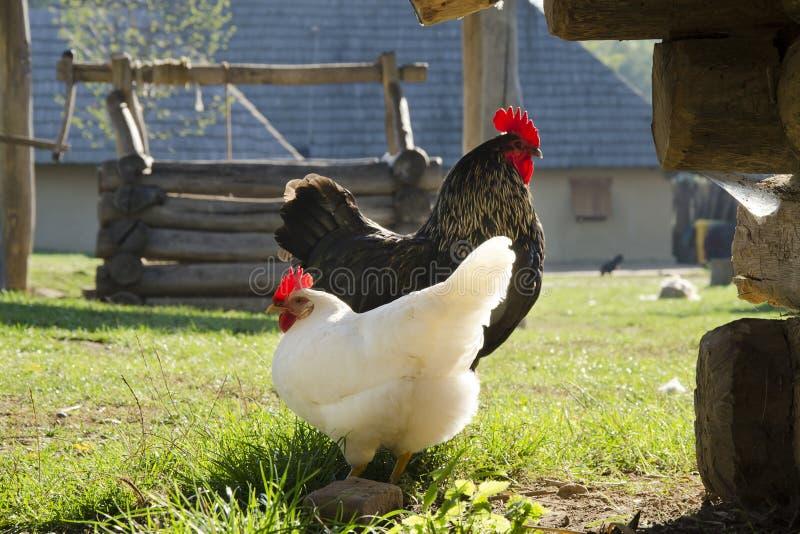 Pollos en granja imágenes de archivo libres de regalías