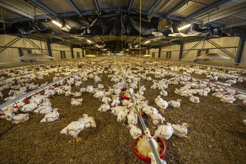 Pollos en un granero de aves de corral imagen de archivo libre de regalías