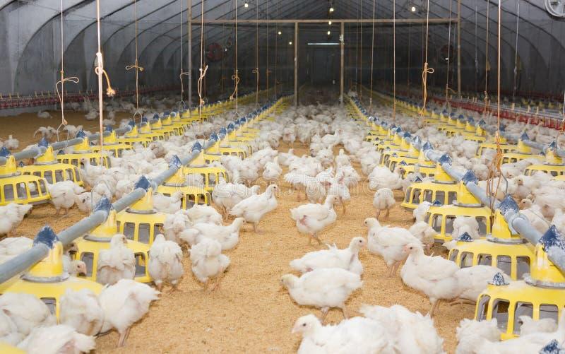 Pollos. Granja avícola foto de archivo
