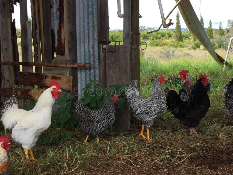 Pollos imagen de archivo libre de regalías
