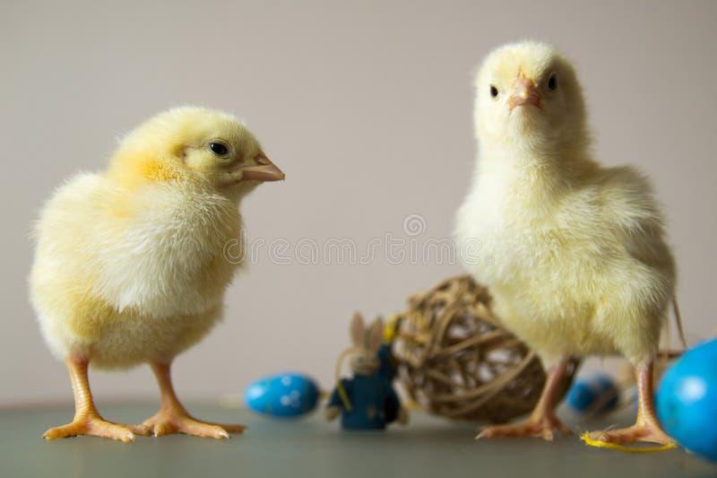 Pollos jovenes que juegan con los huevos imágenes de archivo libres de regalías