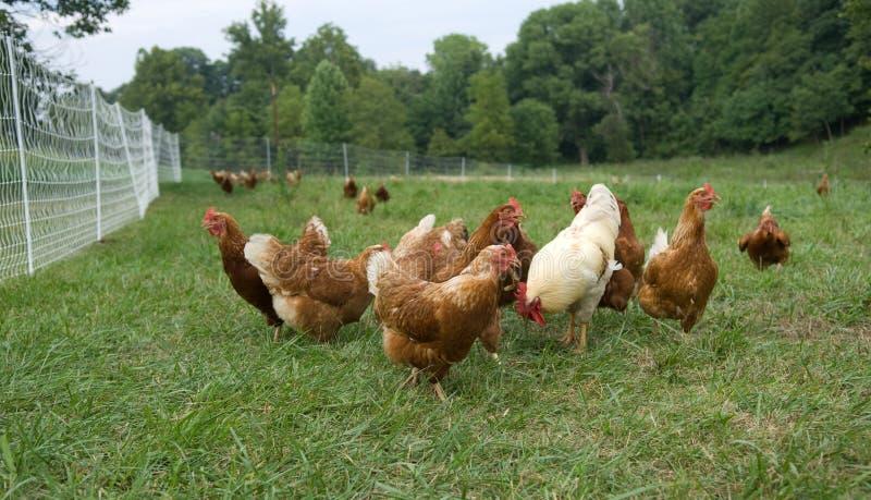 Pollos levantados pasto fotos de archivo libres de regalías