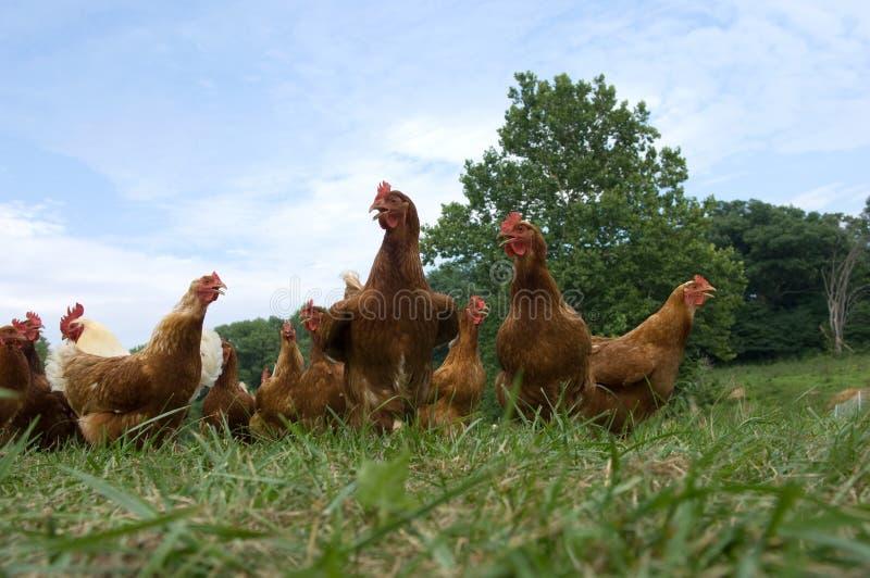 Pollos levantados pasto foto de archivo libre de regalías