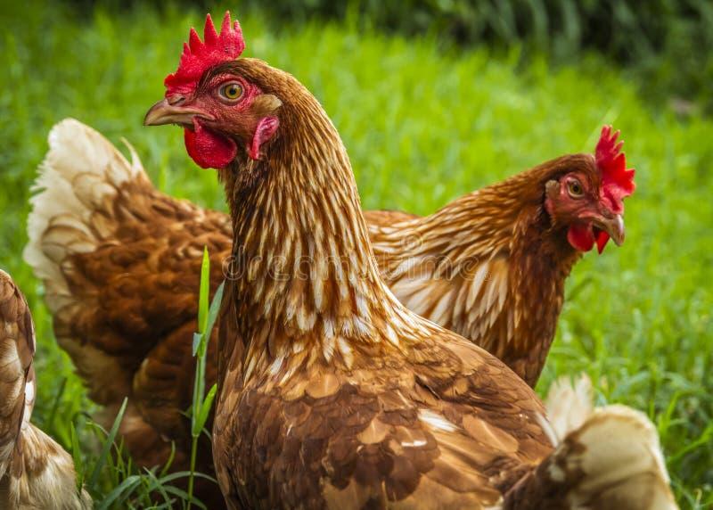 Pollos libres de la gama debajo del árbol foto de archivo