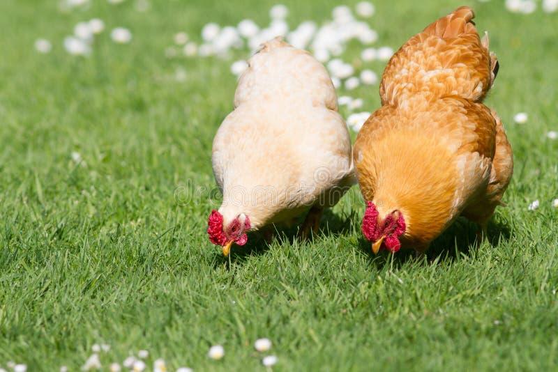 Pollos libres del rango foto de archivo libre de regalías