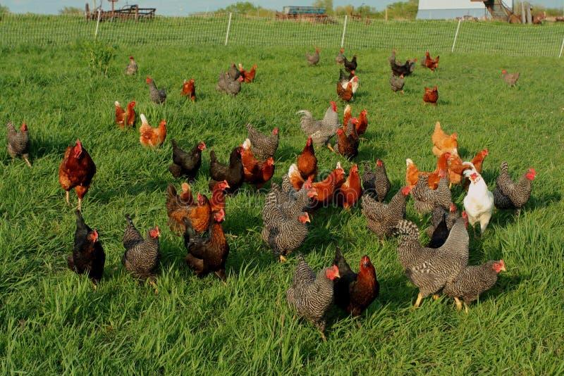 Pollos libres del rango foto de archivo