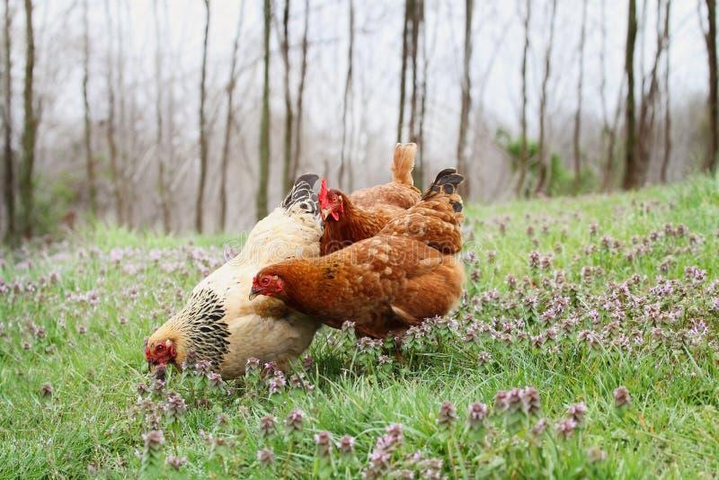 Pollos orgánicos de la gama libre en primavera imagen de archivo