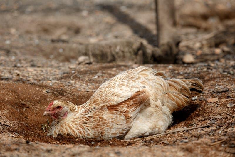 Pollos orgánicos del rango libre fotografía de archivo