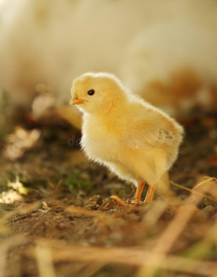 Polluelo amarillo recién nacido del bebé en luz de la tarde foto de archivo