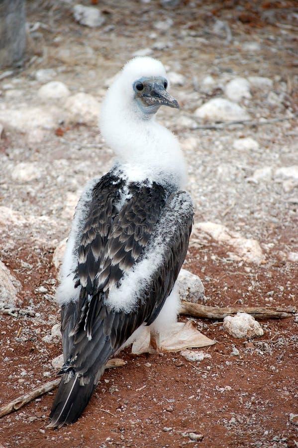 polluelo Azul-footed del bobo. imagenes de archivo