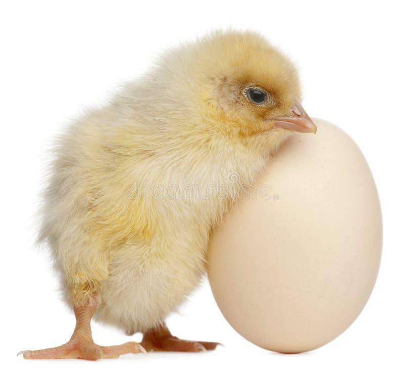 Polluelo con el huevo, 2 días de viejo fotos de archivo libres de regalías
