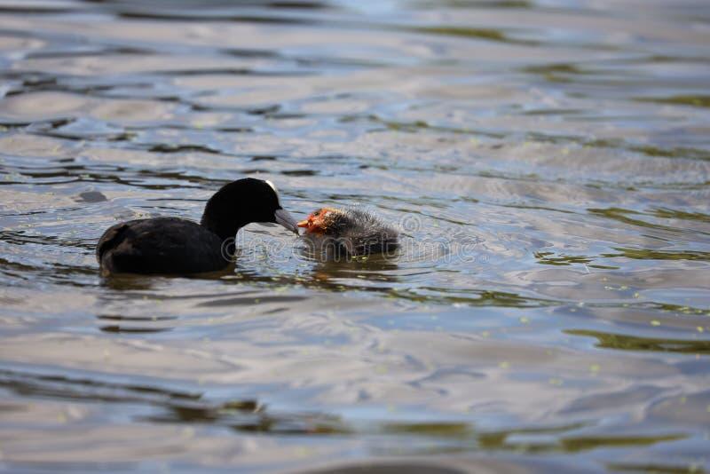 Polluelo de alimentación en la charca, parque espeso, Londres de la focha de la focha adulta imagenes de archivo