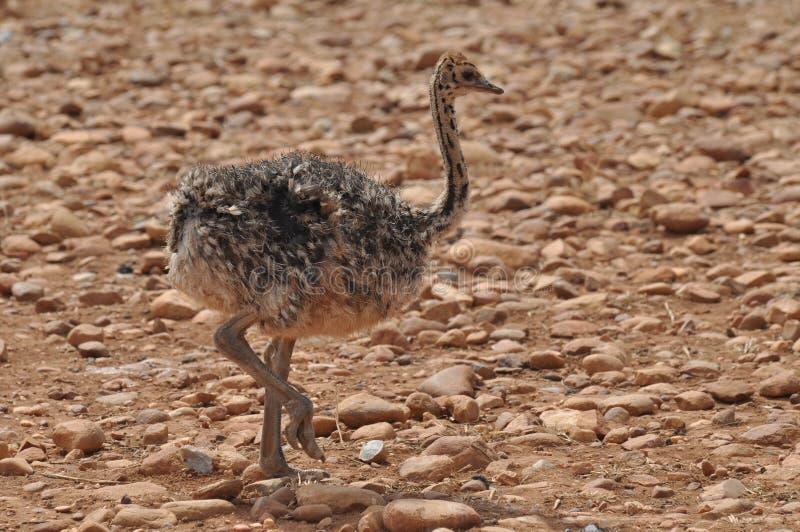 Polluelo de la avestruz imágenes de archivo libres de regalías