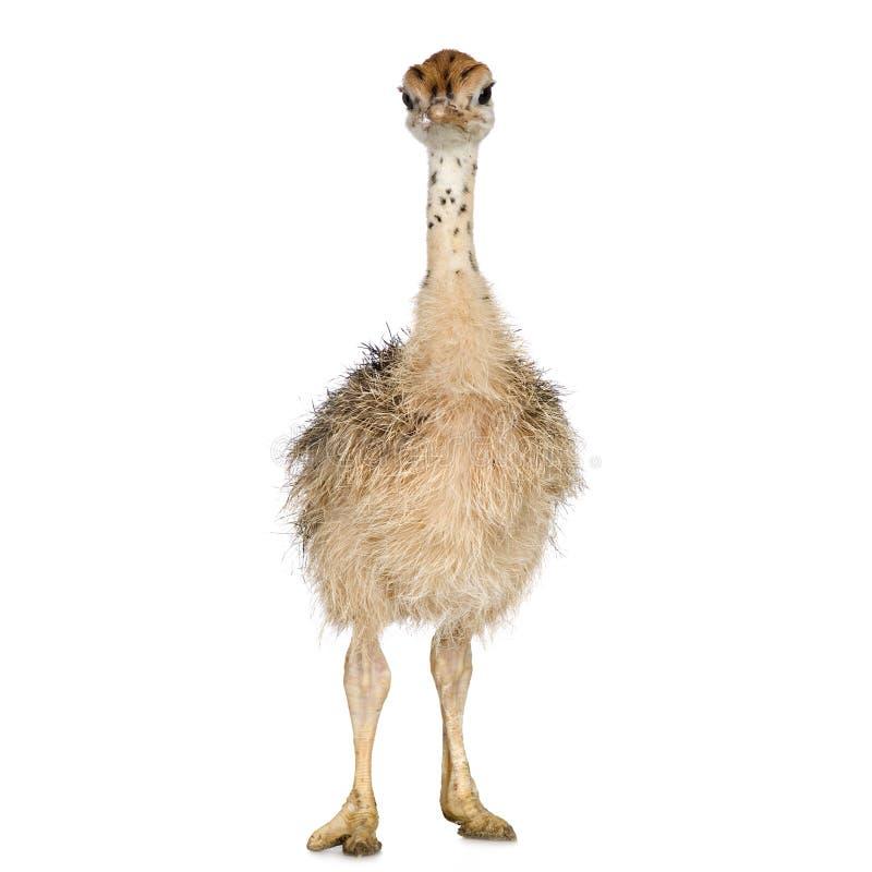 Polluelo de la avestruz fotografía de archivo libre de regalías