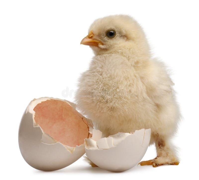 Polluelo de Pekin, una raza del pollo pequeno, domesticus del gallus del Gallus, 2 días de viejo, colocándose al lado de su propi fotos de archivo