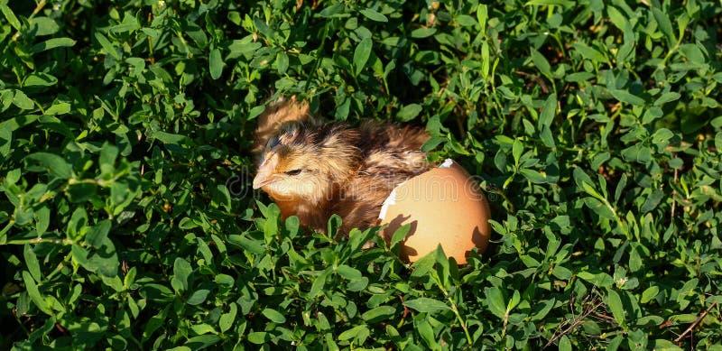 Polluelo del bebé con la cáscara de huevo quebrada y huevo en la hierba verde fotos de archivo