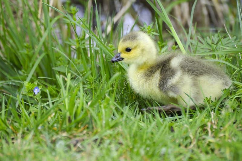 Polluelo del bebé del ganso de Canadá foto de archivo libre de regalías