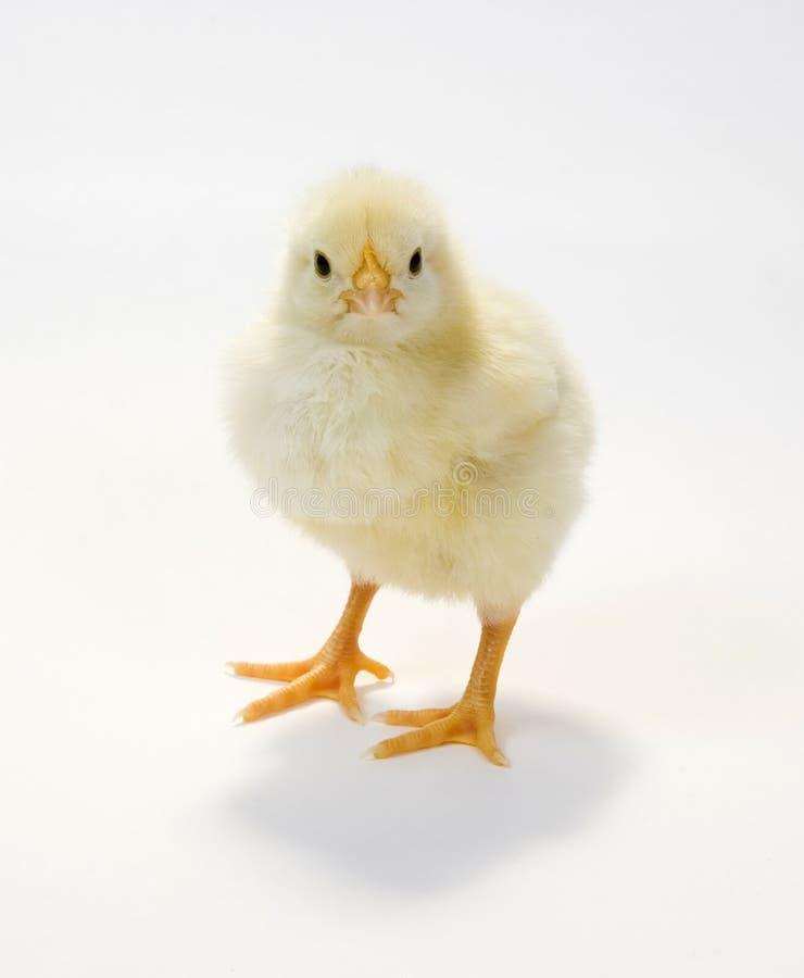 Polluelo del bebé en el fondo blanco 2 foto de archivo libre de regalías