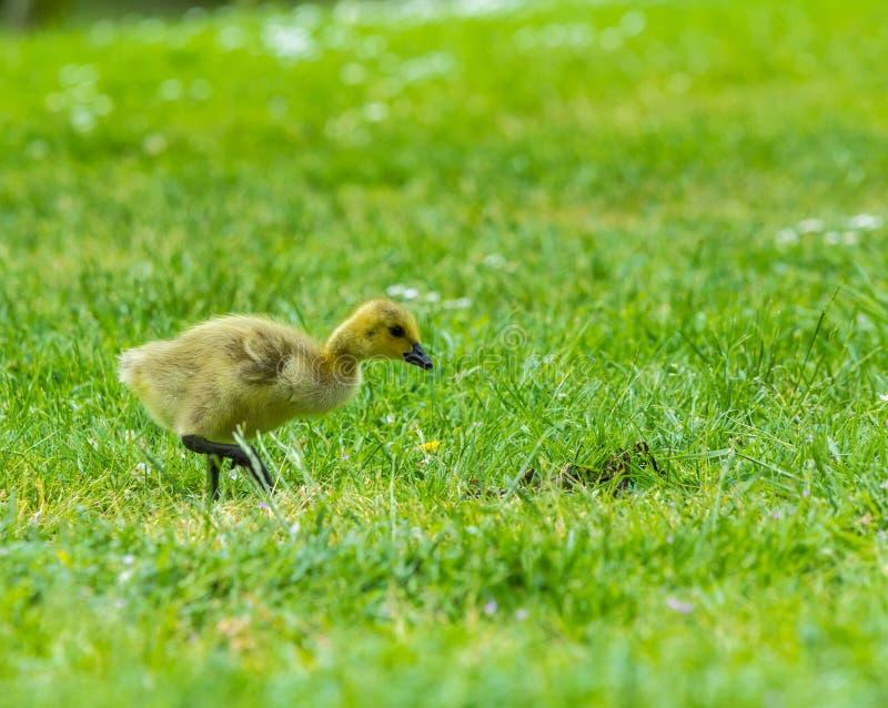 Polluelo del ganso de Canadá foto de archivo libre de regalías