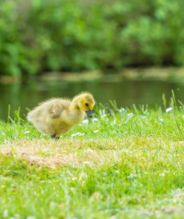 Polluelo del ganso de Canadá fotografía de archivo libre de regalías