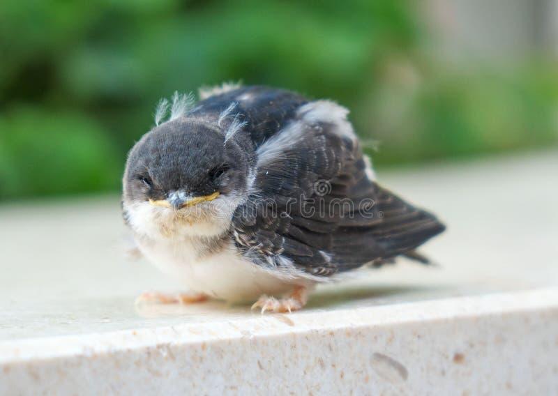 Polluelo del gorrión fotos de archivo