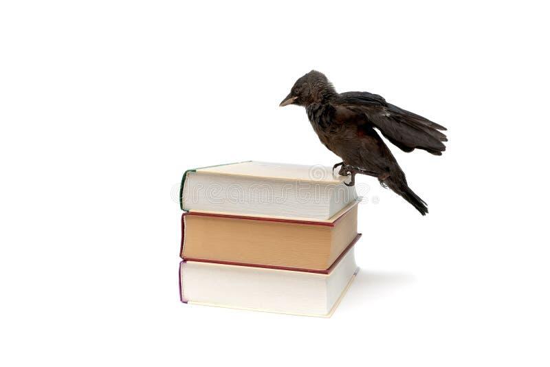 Polluelo del grajo que se sienta en un libro en un fondo blanco fotografía de archivo