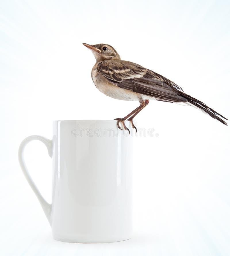 Polluelo del pájaro (wagtail) en la taza fotos de archivo