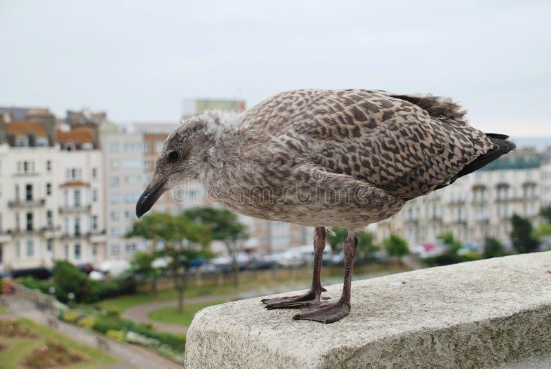 Polluelo europeo de la gaviota de arenques fotografía de archivo libre de regalías