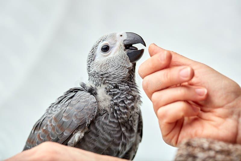 Polluelo joven Jaco que se sienta en las manos de un hombre fotografía de archivo
